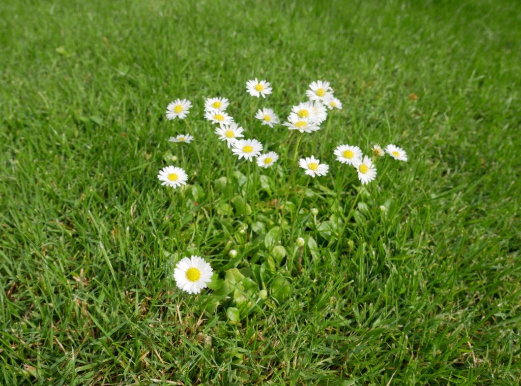 Gänseblümchen, Wildkräutersalat