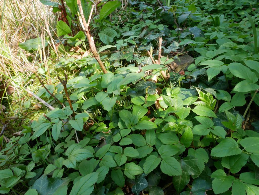 Giersch, Wildkräutersalat